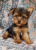 Mini Yorkshire Terrier  Cachorro Yorkie